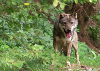 Ventoux, le retour du loup